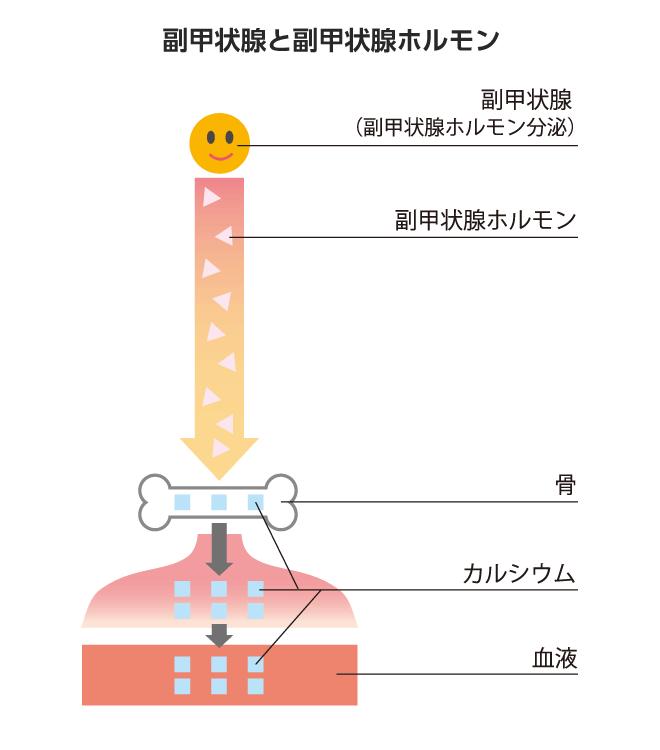 副甲状腺と副甲状腺ホルモン